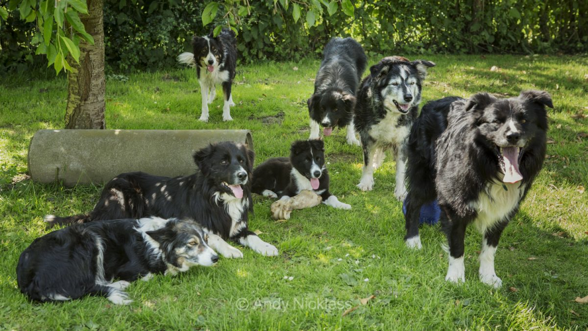 Photo showing seven Border Collie dogs, which make up four generations of the same family