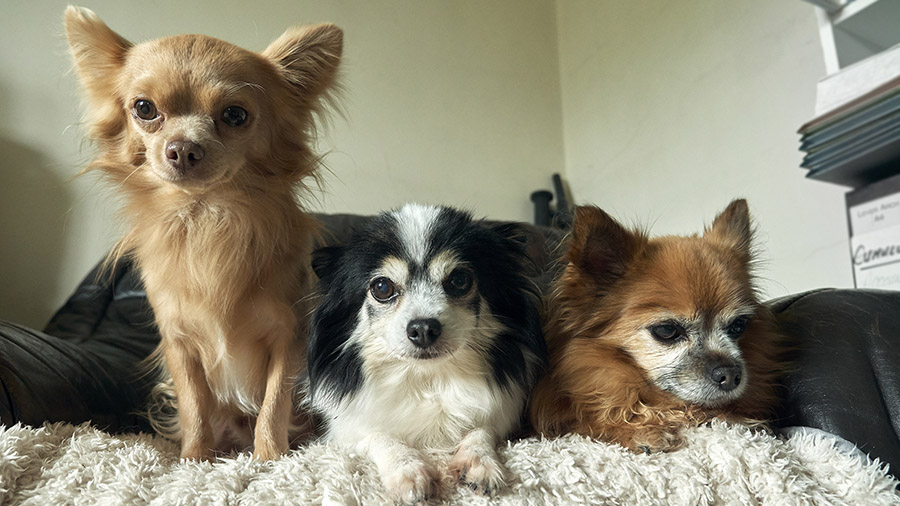 Chihuahuas - Eric, Chester and Alfie