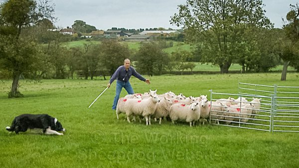 Photo of a border collie sheepdog herding a bunch of sheep into a pen