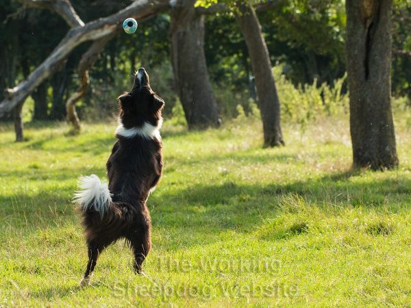 Photo of Border Collie Scylla jumping to catch a ball