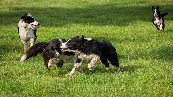 Photo of two young border collie sheepdogs running and biting at each other in play as they run