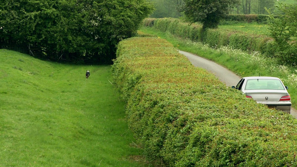 picture of a car driving down a country lane, being chased by a sheepdog