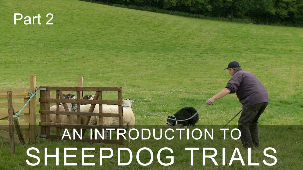 Photo of a trials competitor and his dog attempting to get sheep into a small pen at a sheepdog trial