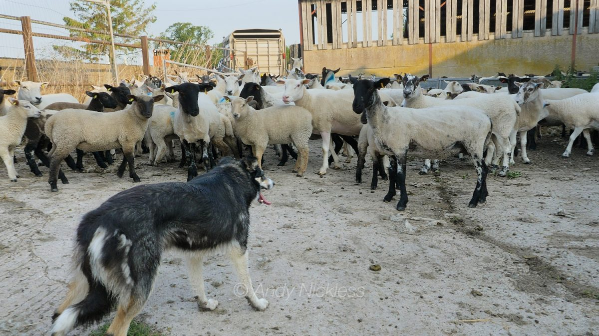 Dulcie patiently waits for the sheep to realise they have no option but to go into the handling yard
