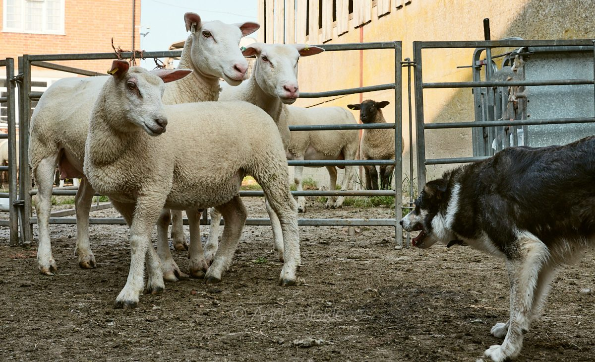 Close up photo of two ewes and a lamb facing sheepdog Dulcie in the handling pens at Dean Farm today.