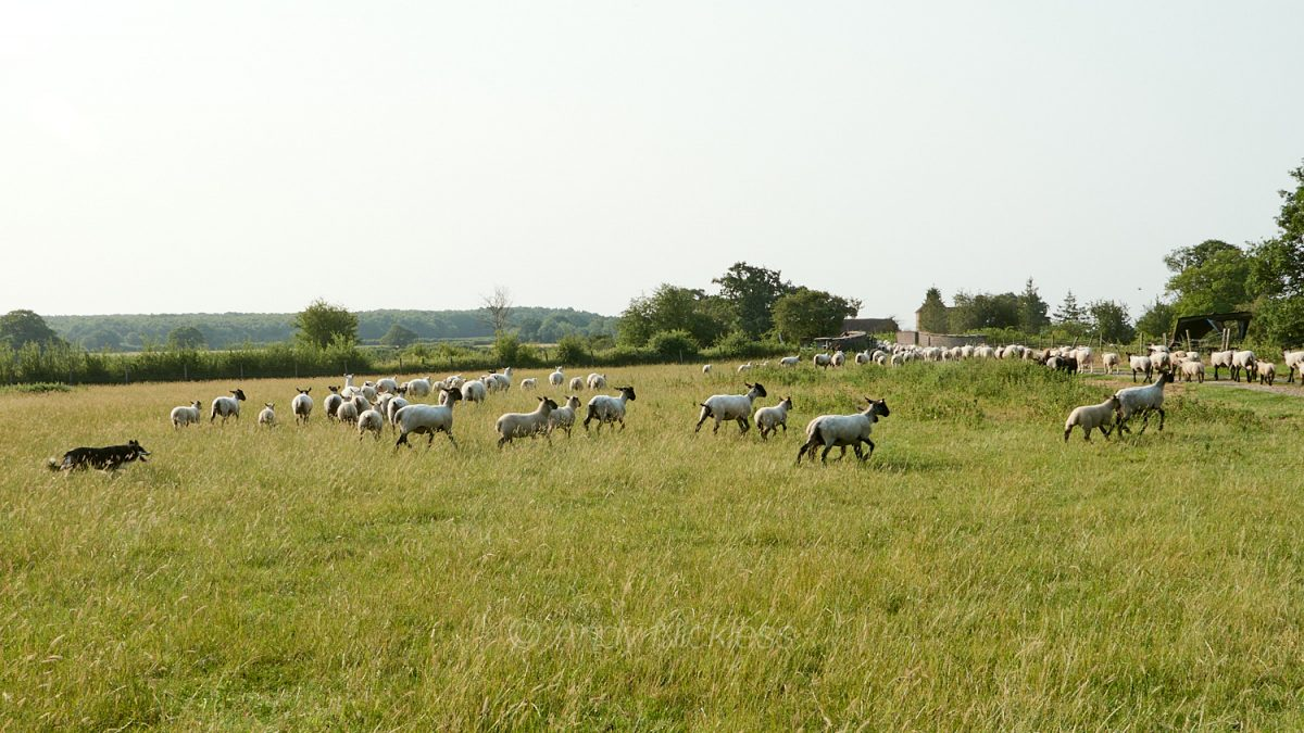 Dulcie gathering the sheep together and driving them towards the farm