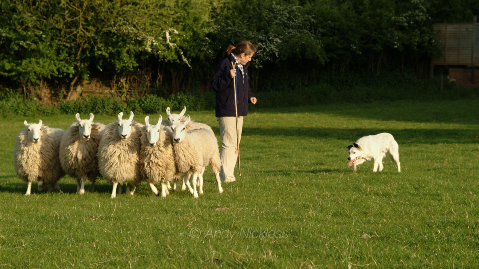 A predominantly white border collie sheepdog working a small bunch of sheep