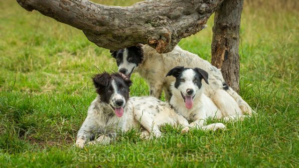 Three predominantly white border collie pups under an overhanging branch.