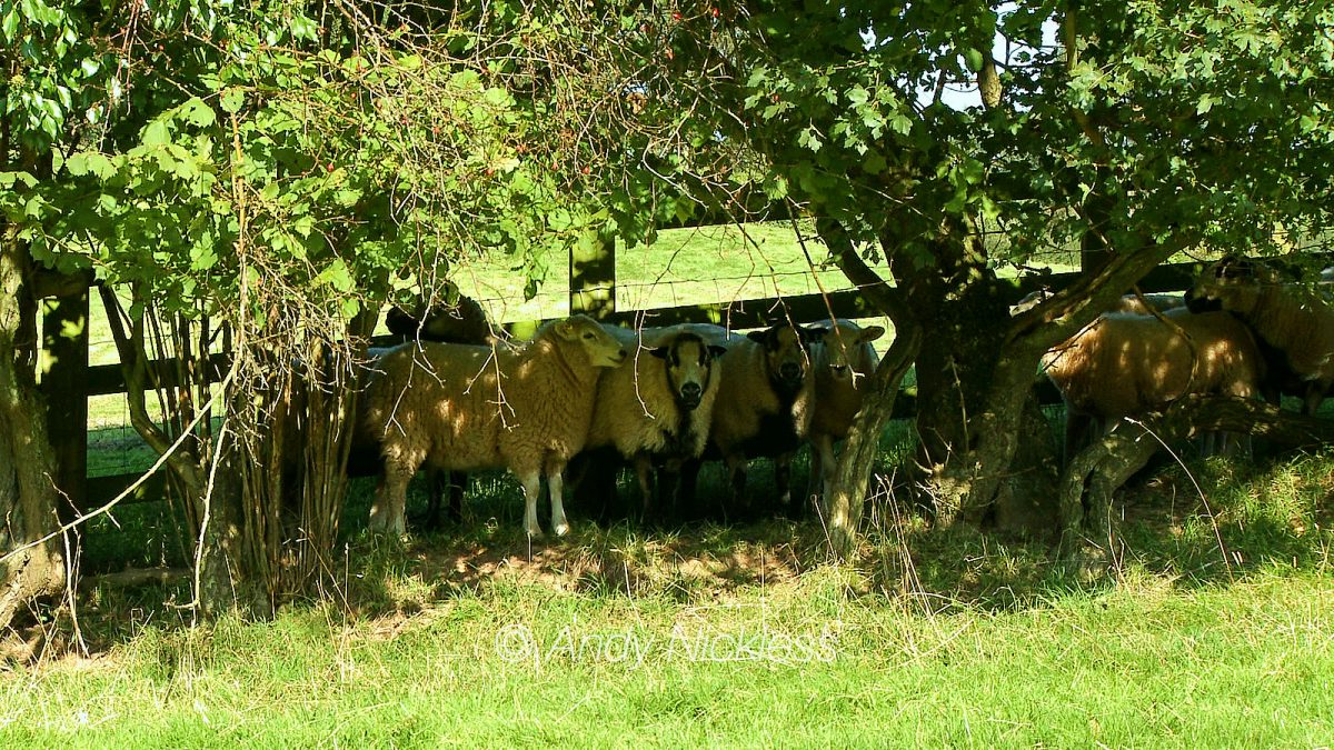 "A group of ""Badger Faced"" sheep hiding under a canopy of overhanging branches"