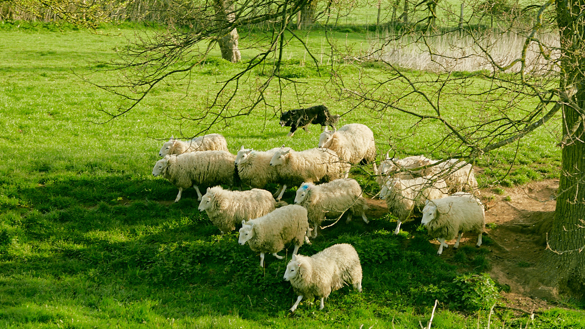 Trainee sheep and cattle dog Remus keeping a small bunch of sheep under control