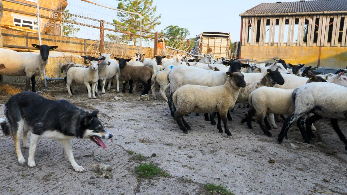 Herding sheepdog Dulcie controlling a yard crowded with sheep