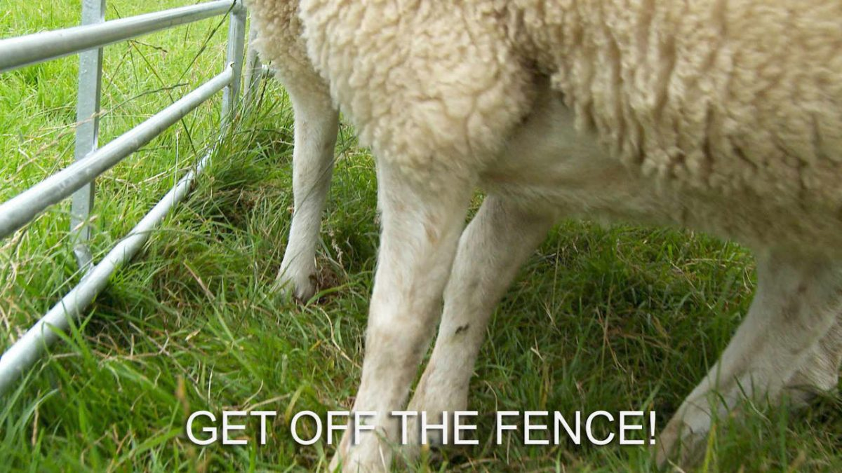 Photo of the very narrow space between some sheep and a fence