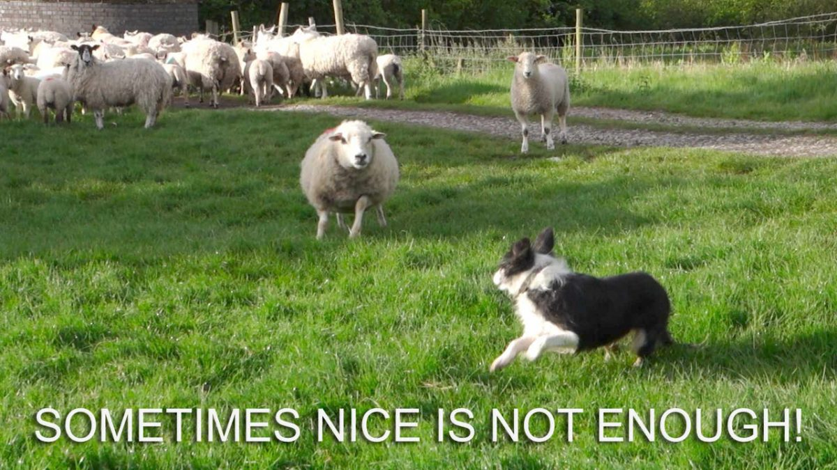 Photo of a sheep chasing a dog away!