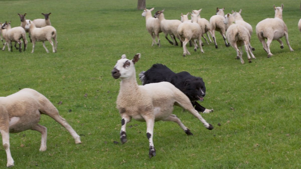 FAQ - How to stop the dog splitting the sheep!