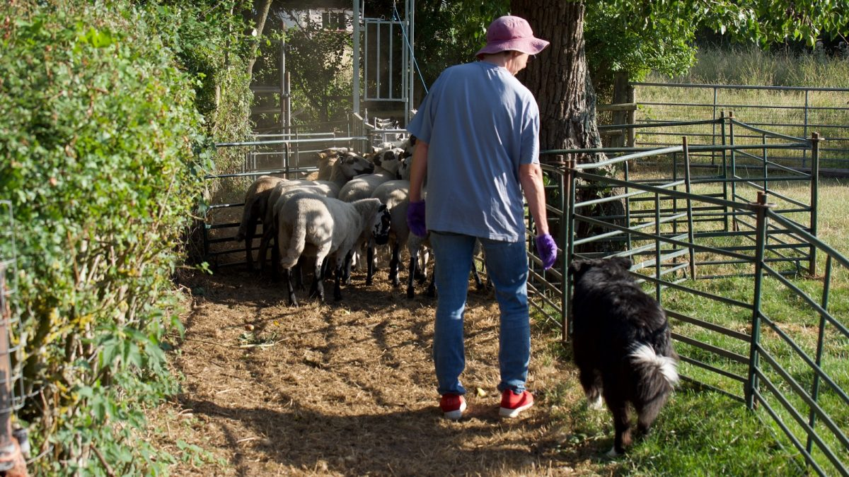 Sheepdog trainer working close to the dog