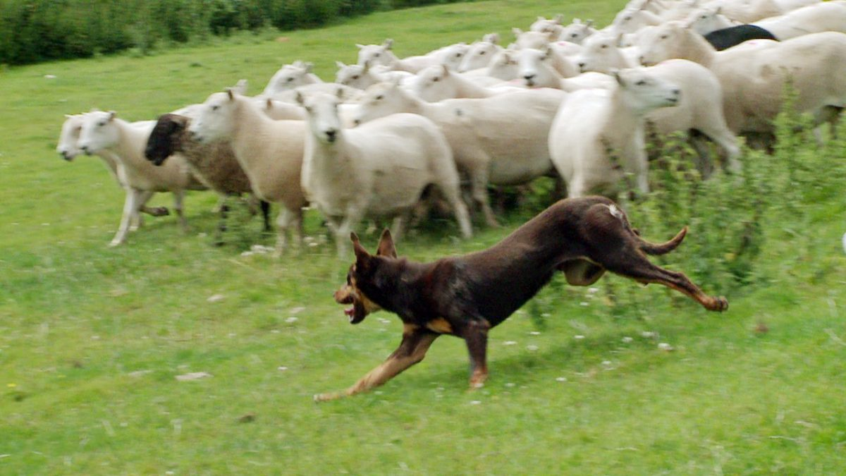 FAQ - My dogs killed a sheep today, what can I do?