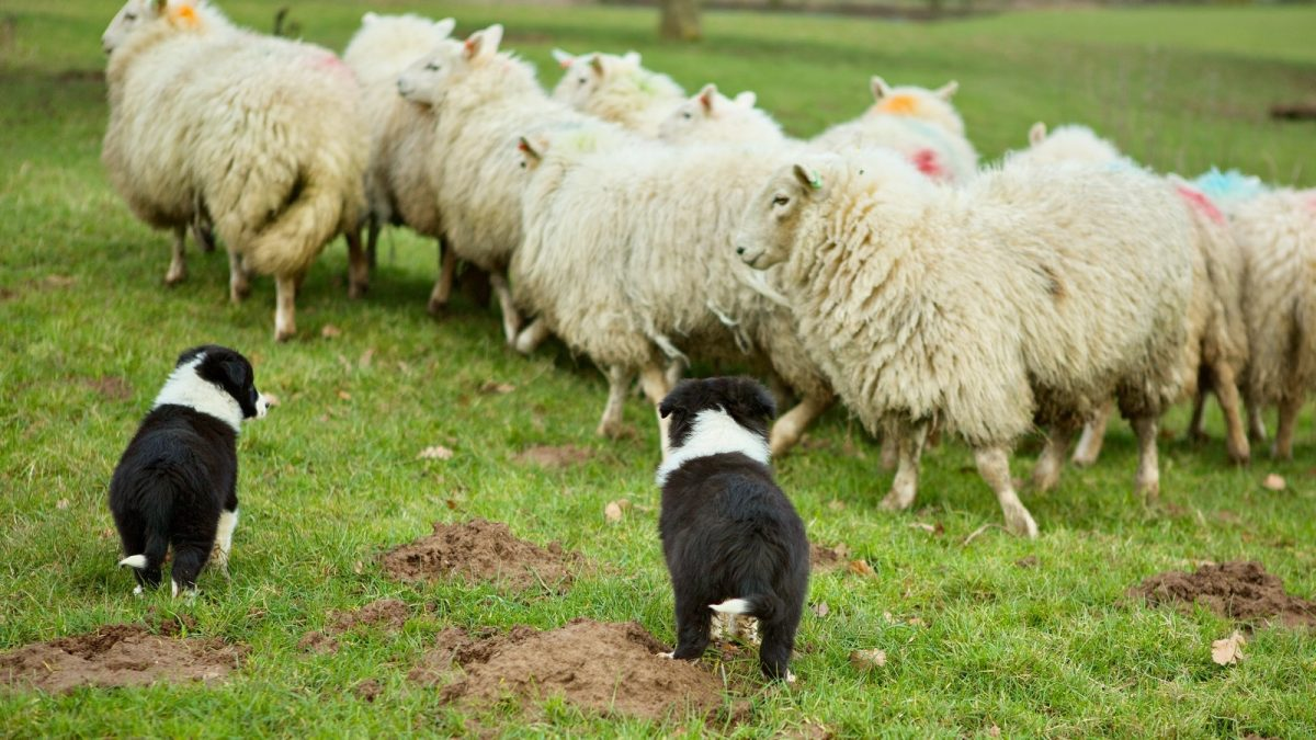 photo of two Border Collie puppies standing close to a bunch of sheep