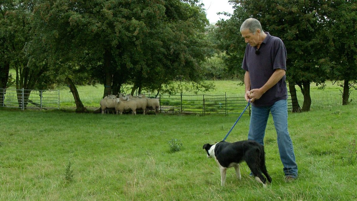 Photo of a man holding a sheepdog on a lead whilst the dog is staring at nearby sheep
