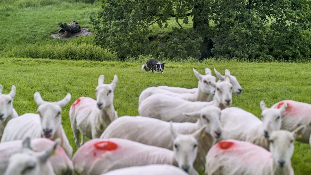 Photo of Andy's dog Carew on the other side of a small bunch of sheep.