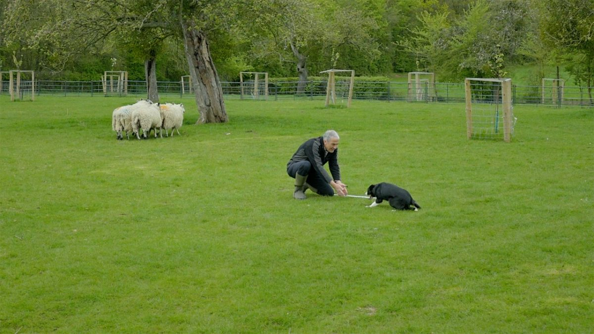 Picture of a very reluctant Maddie creeping towards Andy in the training area. Some sheep are in the background