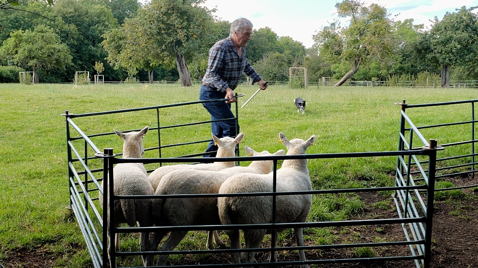 Photo of four sheep in a hurdle pen, with Andy closing the gate. The dog is coming towards the pen.