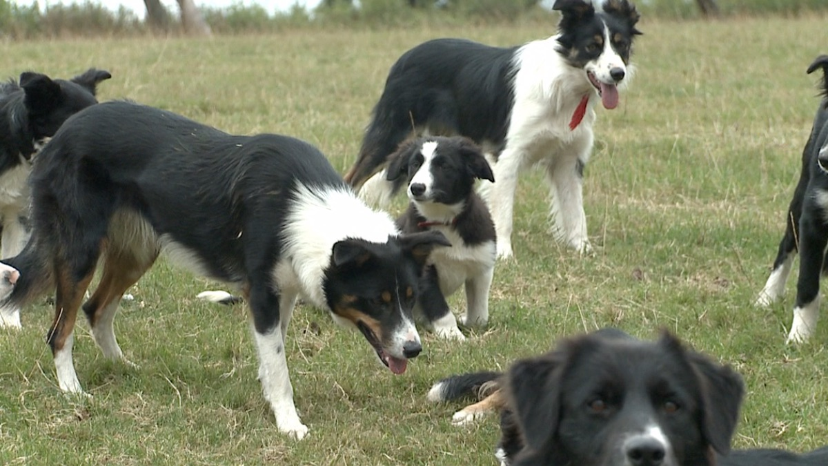 The collie in the middle doesn't want to work