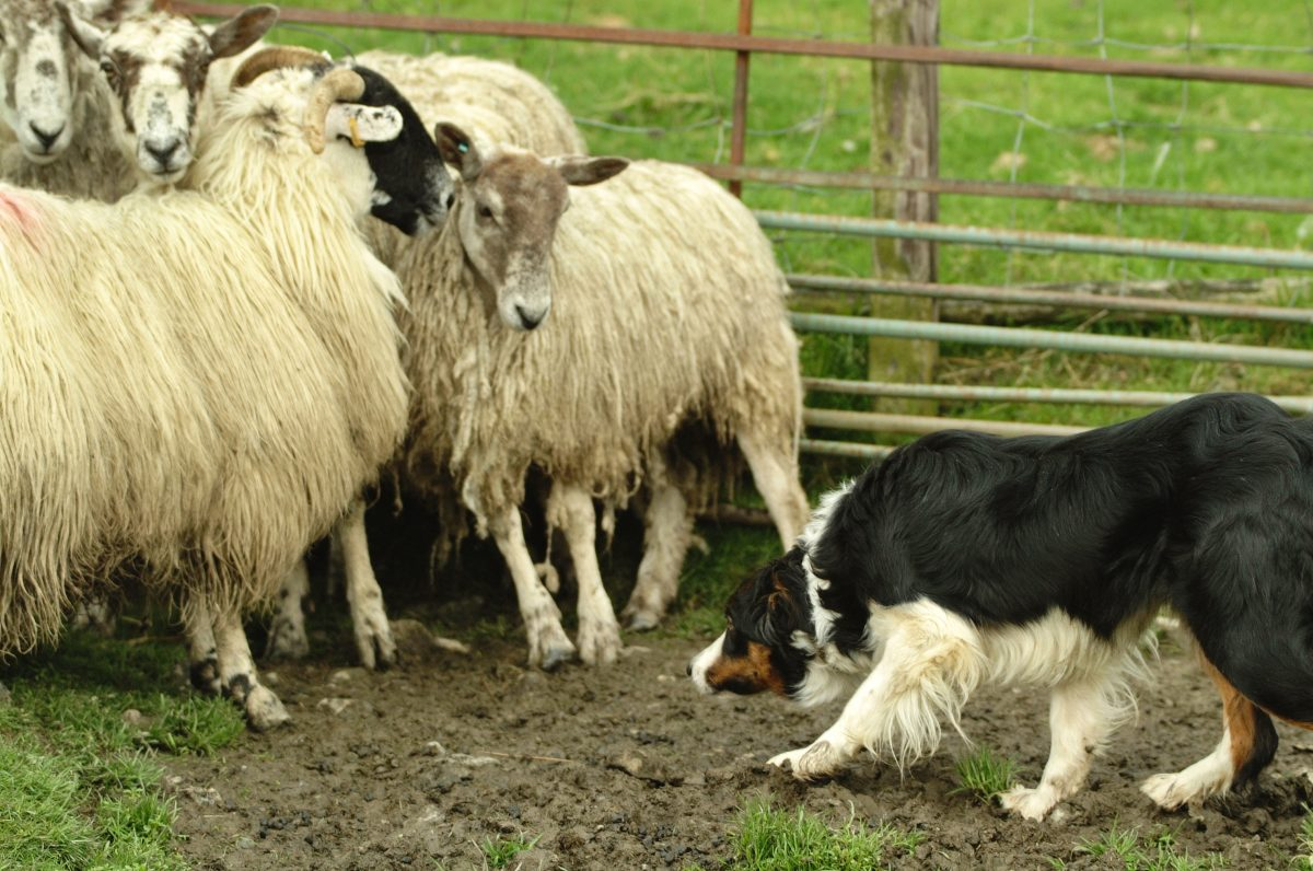 Photo of a working sheepdog very close to some sheep which are trapped in a pen