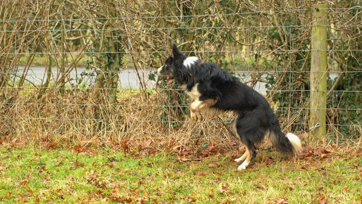 photo of a trainee dog jumping and barking whilst chained to a fence.