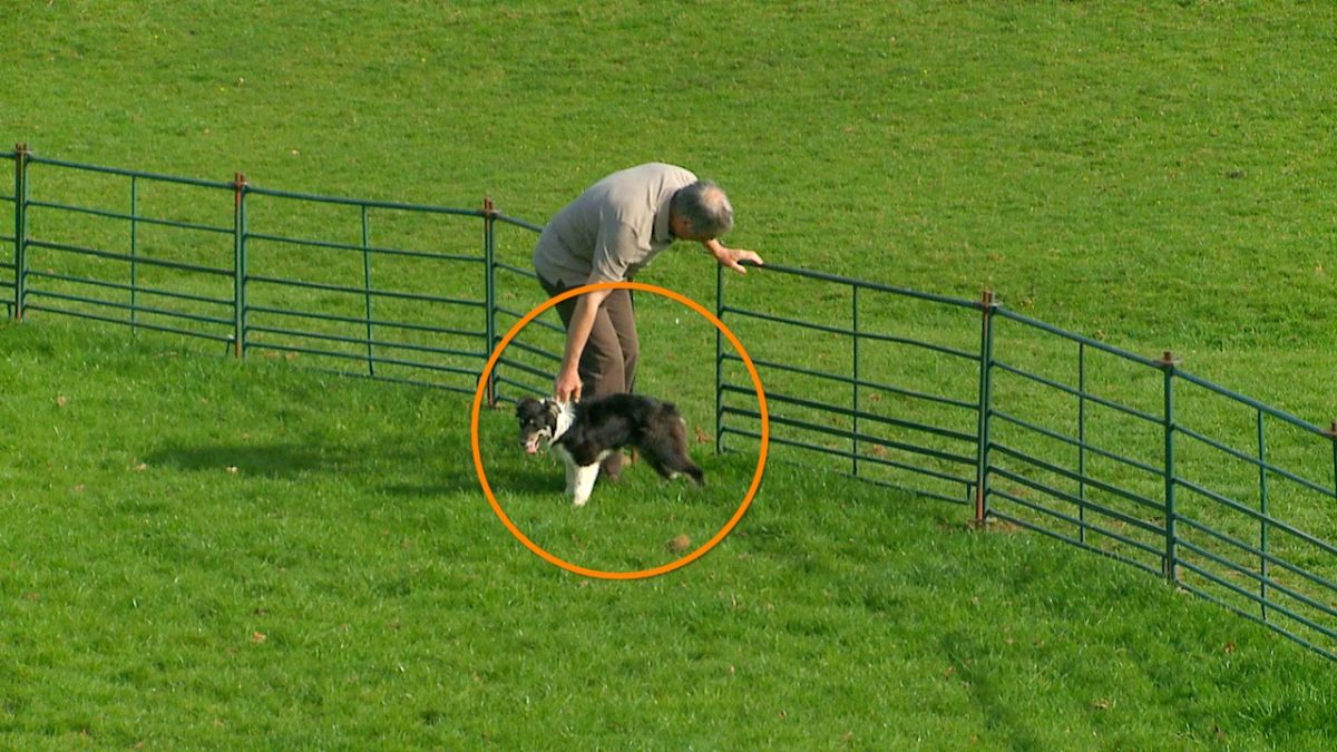 photo showing a sheepdog being led into the training ring with its tail in a normal position